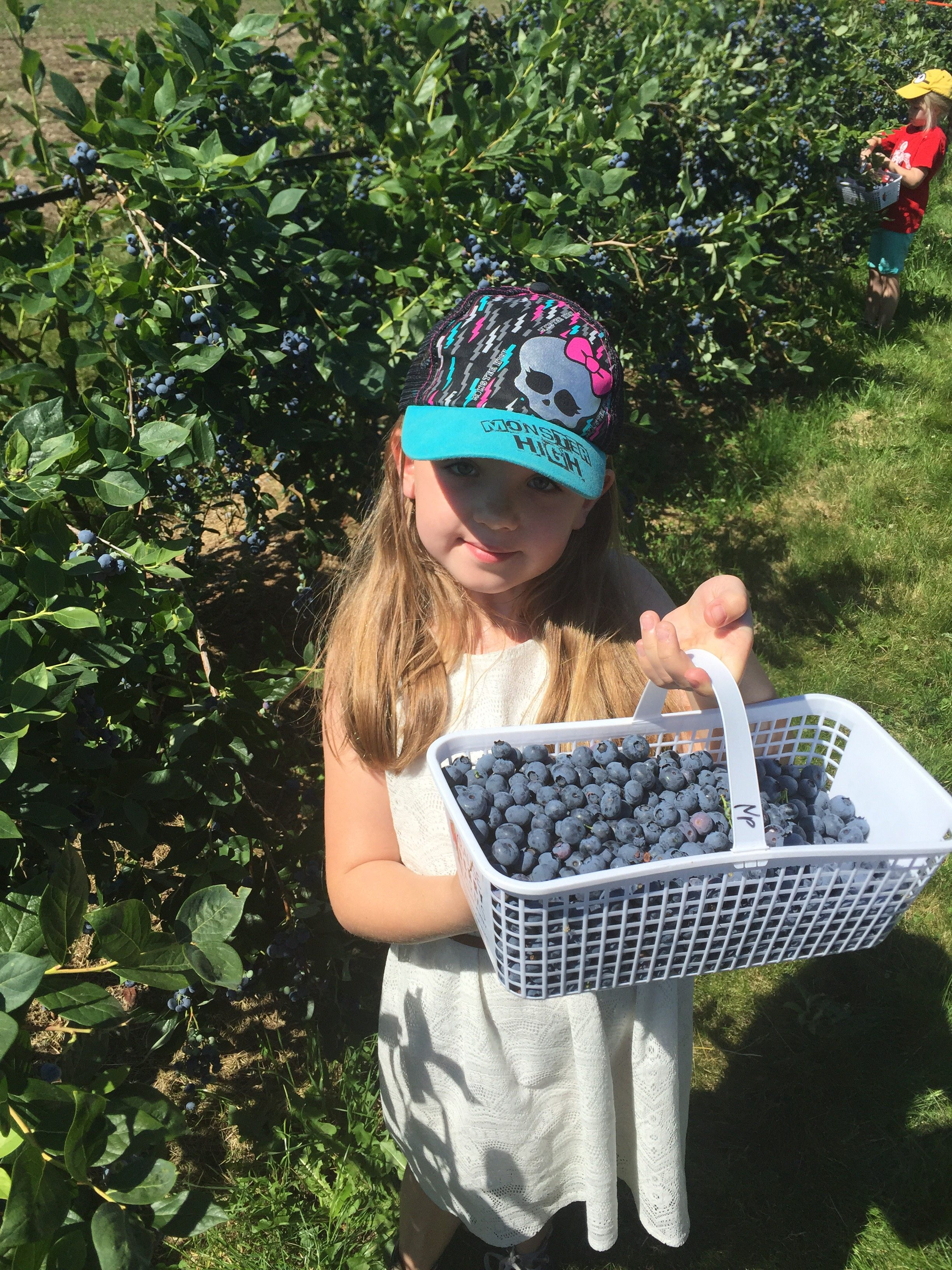 blueberry picking 1