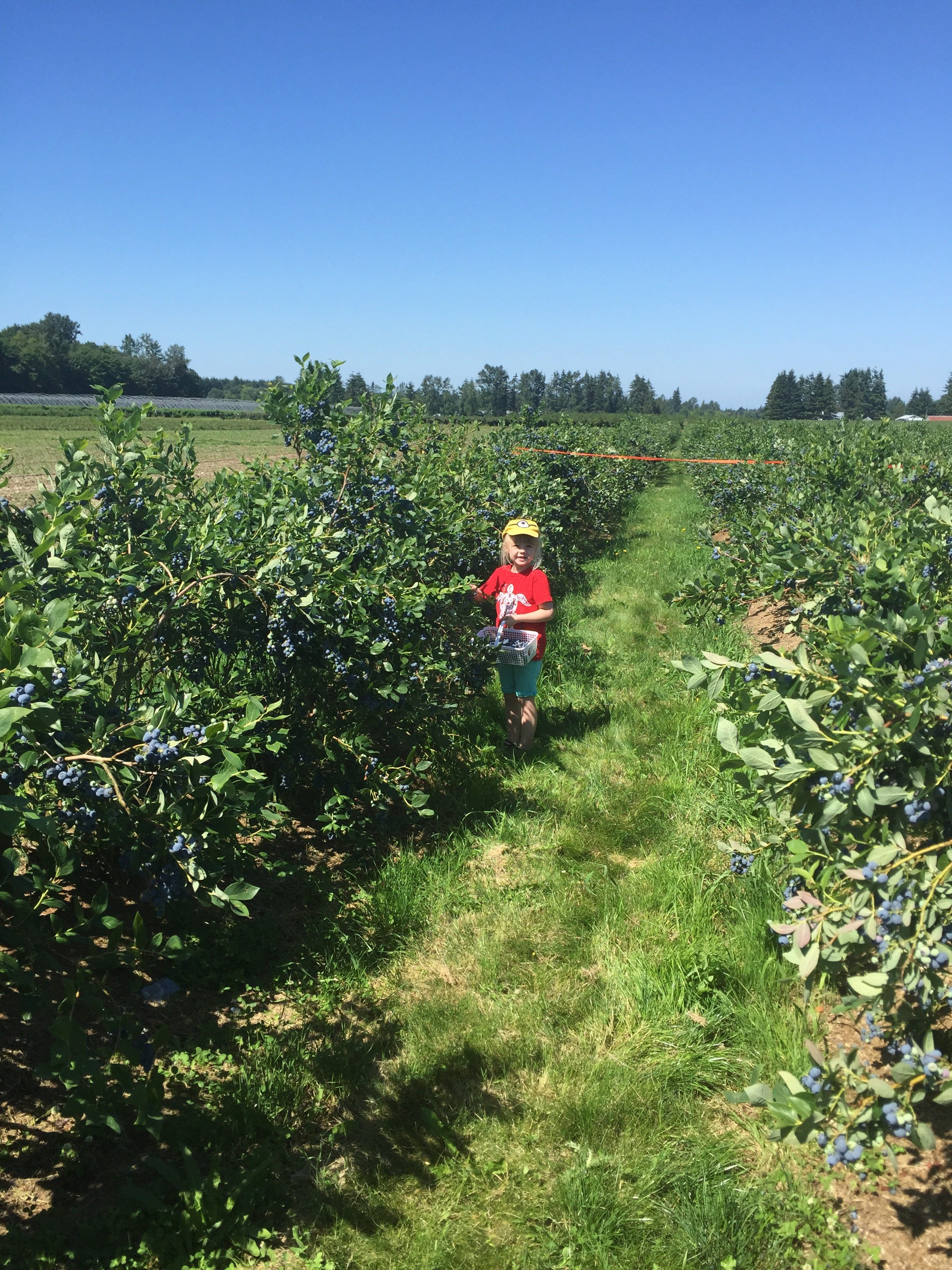 blueberry picking 3