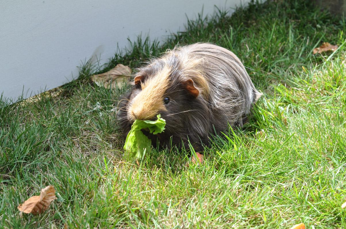 Guinea Pig Trial-1