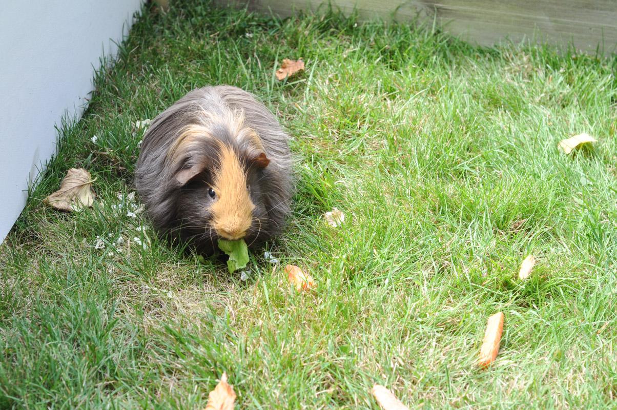 Guinea Pig Trial-2