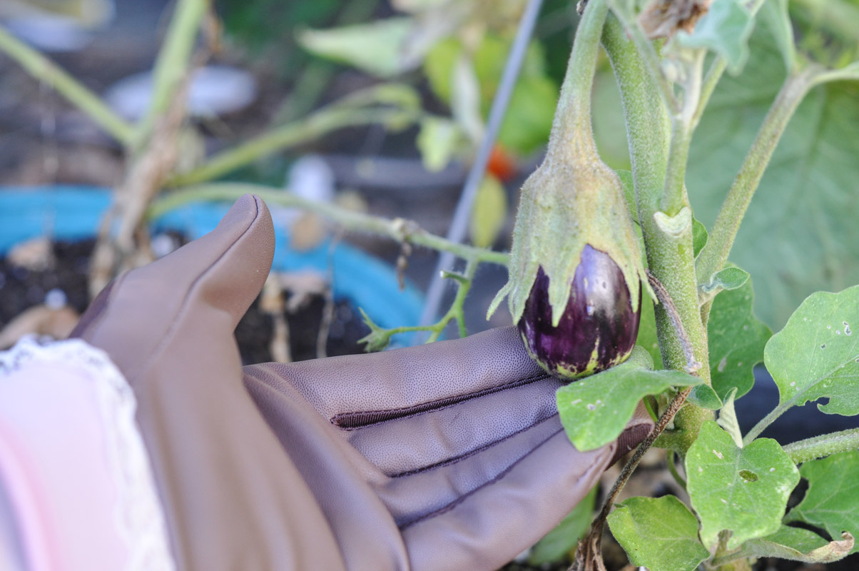 garden-eggplant-1