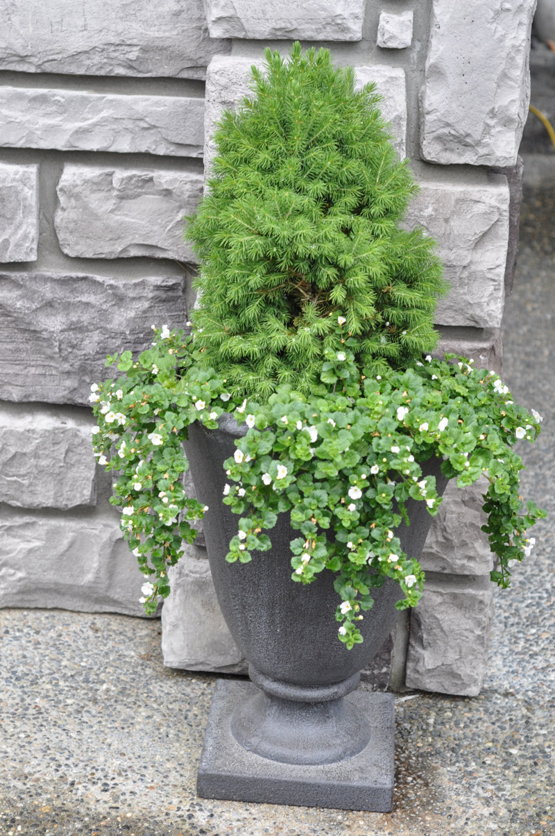 Dwarf Spruce Planter-1