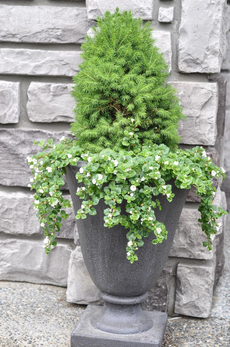 Dwarf Spruce Planter-2