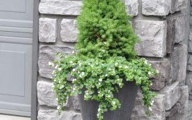 Dwarf Alberta Spruce Planter & A Miracle-Gro Giveaway!