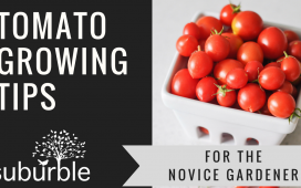 Tomato Growing: What to do and what NOT to do